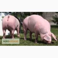 Свиньи 130-150 кг, 3-ох породка