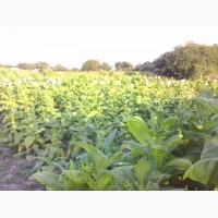 Продам семена табака сорт:Вирджиния Голд, ГаванаZ-992, Ксанти(Греция)ориентал, Берли-21