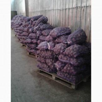 Картофель товарный сорт Аладин оптом