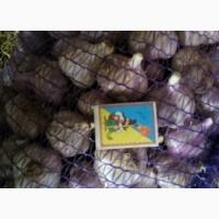 Продам чеснок любаша опт от 500 кг
