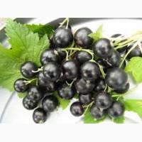 Саженцы черной смородины Вернисаж