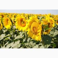 Продам семена подсолнечника Сингента, Лимагрейн, Пионер, Евралис, Солар, Агроспецпроект