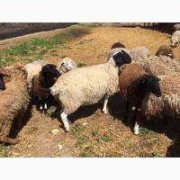 Продам баранів-плідників породи дорпер