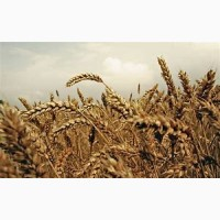 Пшениця ТЕСЛА 1р