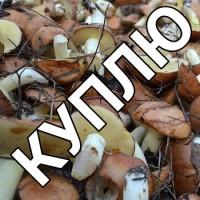 Куплю грибы мяслята солёно-варёные от 500 кг