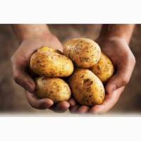 Куплю товарный картофель, разные сорта