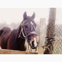 Срочно Подам коня Русско-Американский рысак