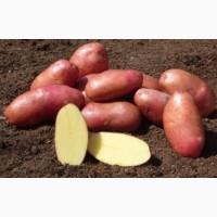 Картофель Беллпроза цена 4 грн. опт урожай 2018 идеальный картофель
