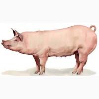 Куплю свиней живым весом от 50 голов по хорошей цене