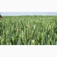 Озима пшениця Мелодія Одеська (доступна держ компенсация)