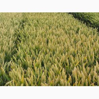Семена мягкой пшеницы двуручки элитного сорта AMADEO