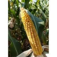 Насіння кукурудзи МУАСОН