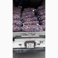 Картопля сорт Адретта