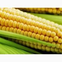 Семена Кукурузы ДКС 4685 (DKC 4685)