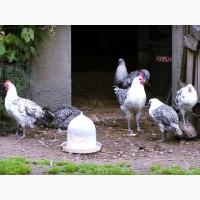 Продам Инкубационное яйцо, Брекель серебро