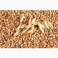 Дорого закупаем Пшеницу, Ячмень от 120т