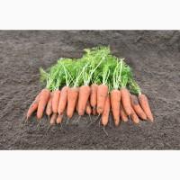 Морковь Средняя и Крупная на выбор, Абако