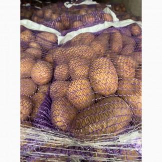 Продам продовольственный картофель, 5+ из Литвы