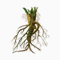 Продам корень алтея сухого