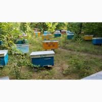 Продам бджолосімї, бджолопакети