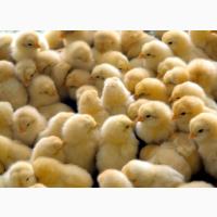 Цыплята Кобб500 суточные розница