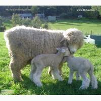 Продажа баранины живым весом и тушкою.Продаж овечок, ягнят, баранів