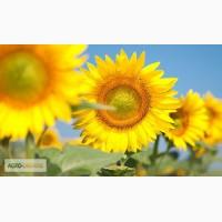 Насіння гібридів соняшнику Сонячний настрій (98 – 103 дн) Гібрид