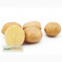Продам насінну картоплю