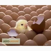 Продам инкубационное яйцо кобб-500 росс-308