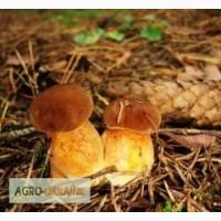 Реализую Польский гриб, Белый(білий гриб), Лисичку