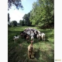 Продам коз на мясо или на разведение
