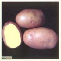 Продам насіневу картоплю сорт Словянка