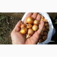 Продам лук-севок сорт Штутгартен