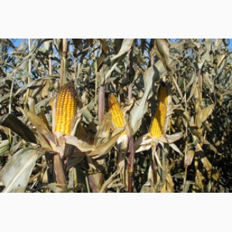 Семена кукурузы ВН 63