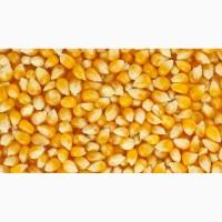 Закуповуємо кукурудзу з фермерських господарств, елеваторів Чернігівської області