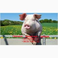 Продам свинину - живой вес