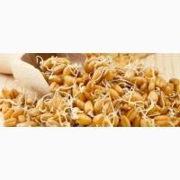 Закупаем пшеницу проросшую некондиционную