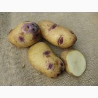 Картофель элитных сортов.Высокоурожайные, засухоустойчивые, разваристые