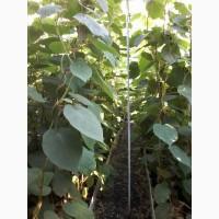 Продам саженцы киви 2хлетние 1, 5-2м