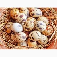 Продам домашні пепепелині яйця