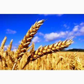 Продам пшеницу 2клас