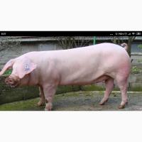 Продам свиней 140-170кг бекон