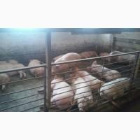 Продам больших, мясистых свиней (свинок, свиньи)