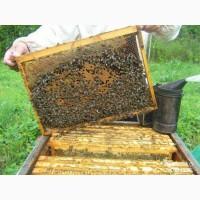 Продам бджолопакети пчелопакеты бджолосімї пчелосемья 2020