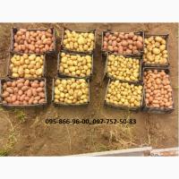 Картофель семенной (посадочный) 1 и 2 репродукции. В наличии более 20 сортов
