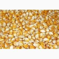 Куплю кукурудзу у виробників