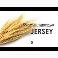 Семена озимой пшеницы Джерси JERSEY