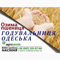 Насіння озимої пшениці від виробника - Годувальниця Одеська