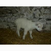 Козлята (!!козлики!!) от зааненских коз
