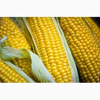 Семена Кукурузы ДКС 4795 (DKC 4795)